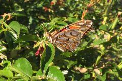 Lisa_Damerel_Gulf_Fritillary_in_a_Concord_garden-d26f621f45d9074fabdc78085599191c