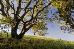 2018 05 13 Trees on Hornbeck Trail in Martinez